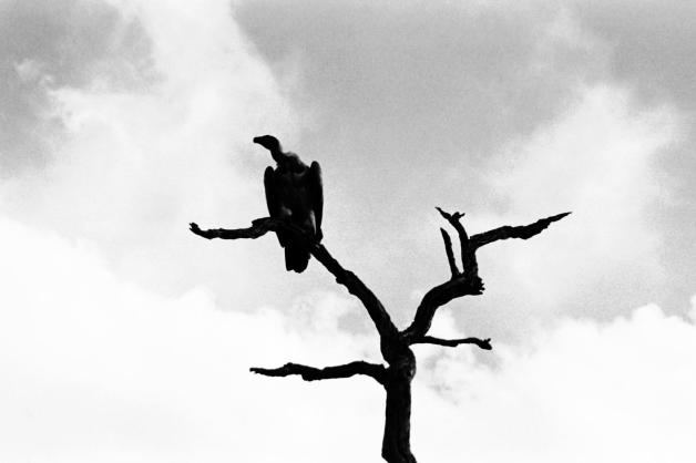 17_bw vulture in tree