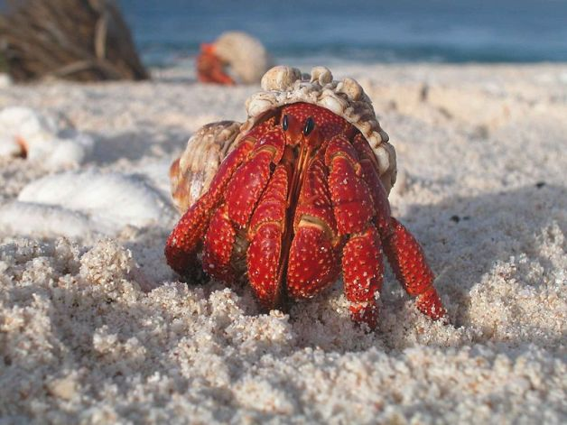 800px-A_hermit_crab_emerges_from_its_shell[1].jpg